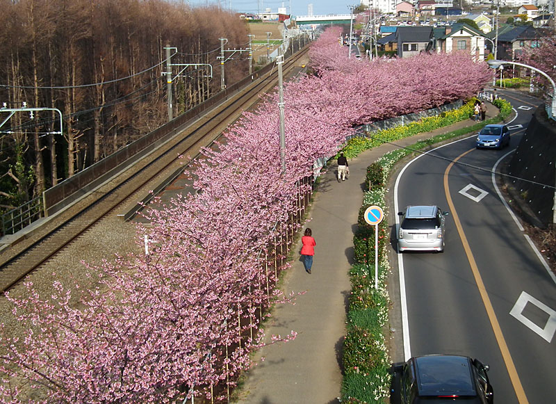 110227河津桜と京急電車7