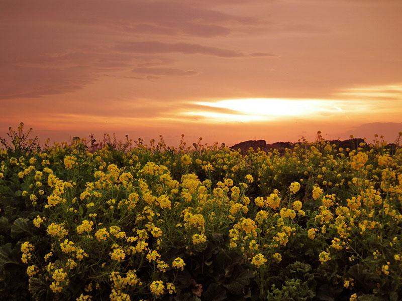 菜の花畑に 入日薄れ