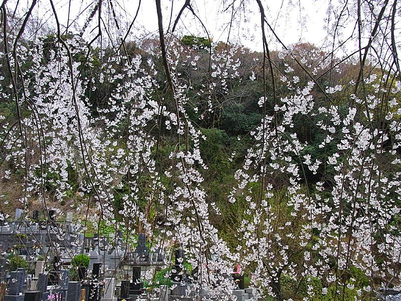 110403等覚寺枝垂れ桜5