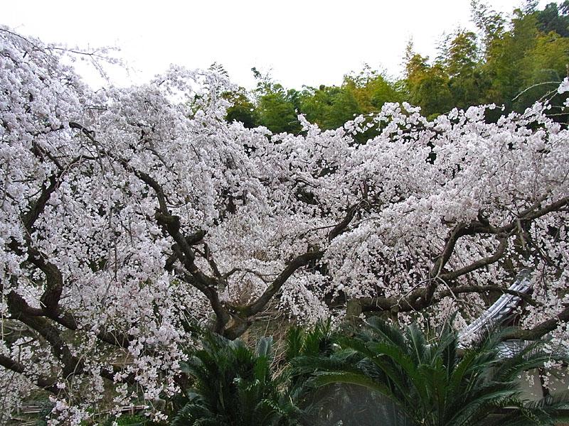 110403等覚寺枝垂れ桜3