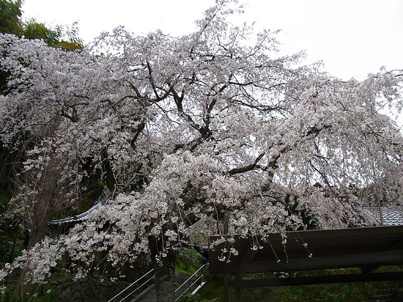 110403等覚寺枝垂れ桜2