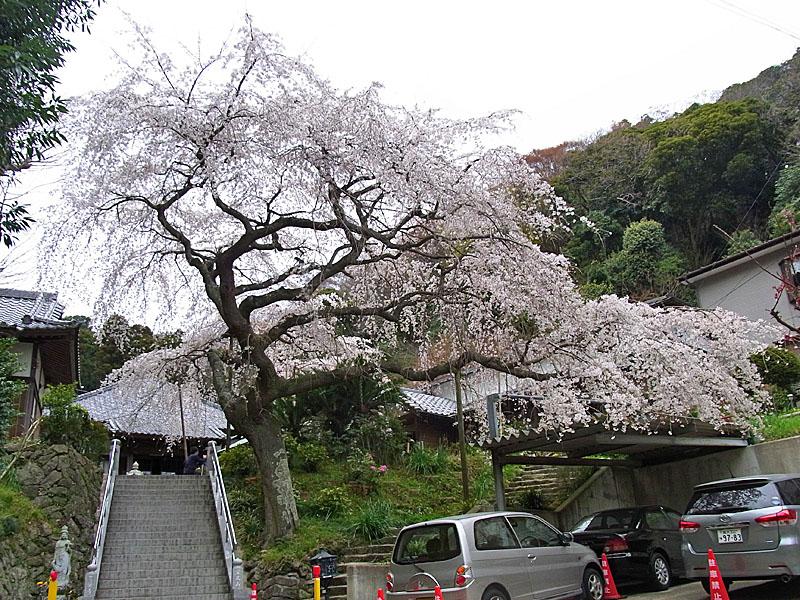 110403等覚寺枝垂れ桜1