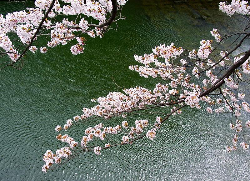 110408大岡川桜2