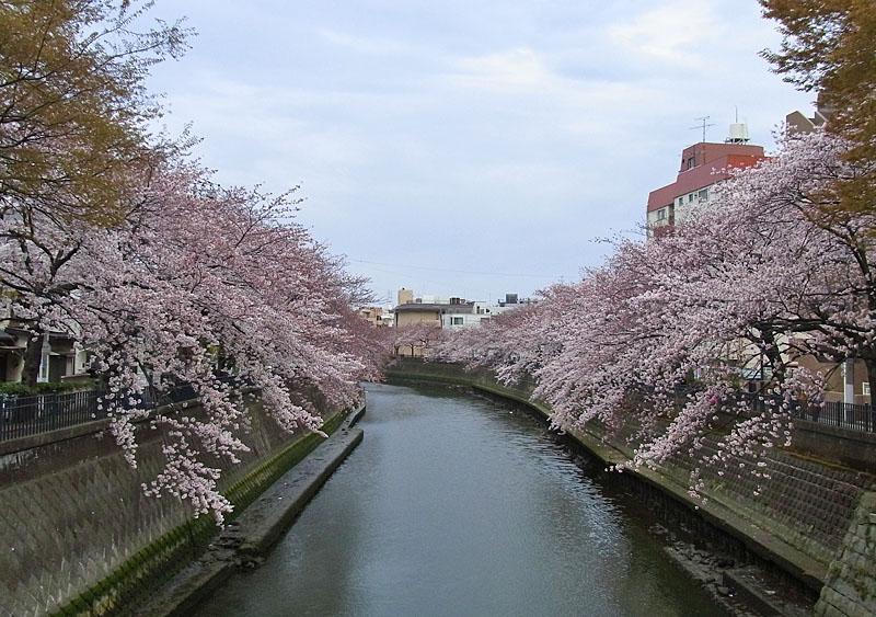 110408大岡川桜1