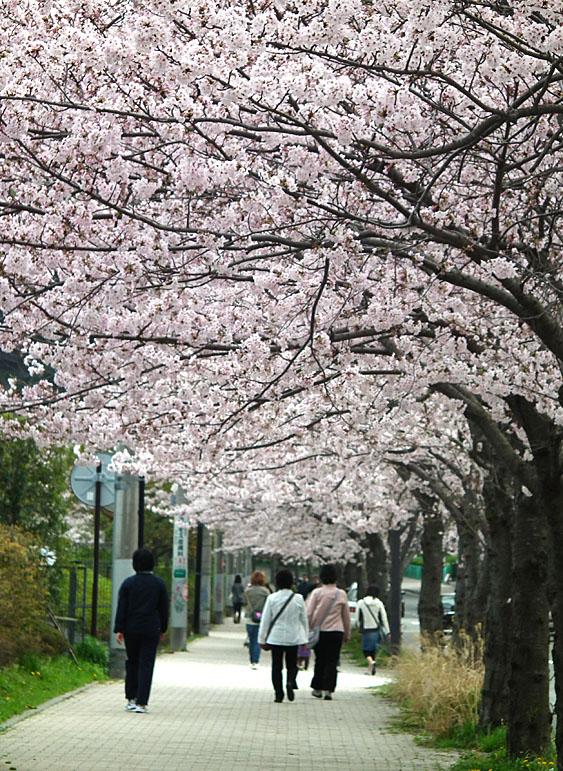 110410花の国桜道3