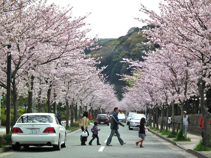 110410花の国桜道1
