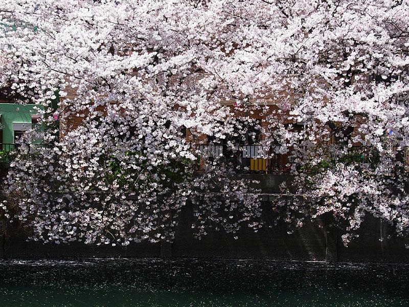 110413大岡川桜5
