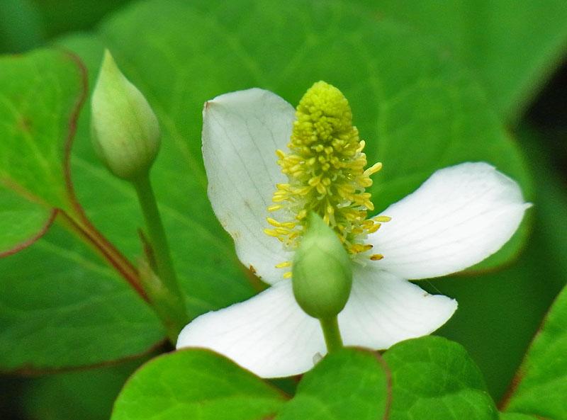 110607ドクダミの花と仔カマキリ1