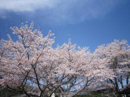平成22年の桜