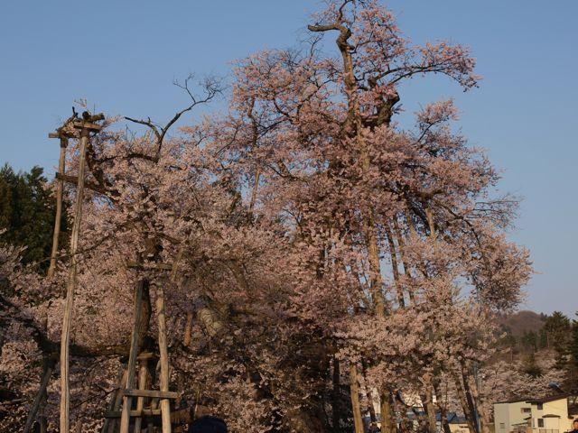 sakura-kubo