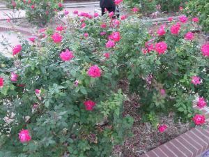 サンアントニオ植物園内:熊本園 1027