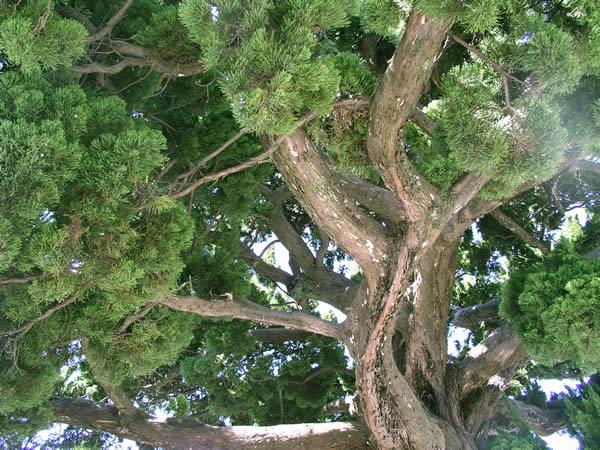 鎌倉八幡宮の巨木