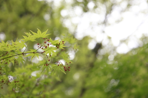 harumomiji3.jpg