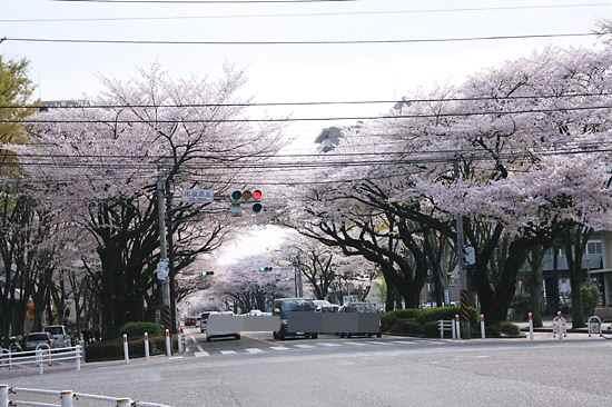 桜並木 南方向