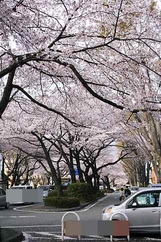 桜並木 北方向