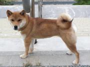 091019 柴犬リンちゃん