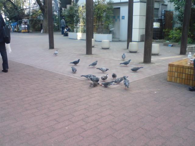 新宿のハト