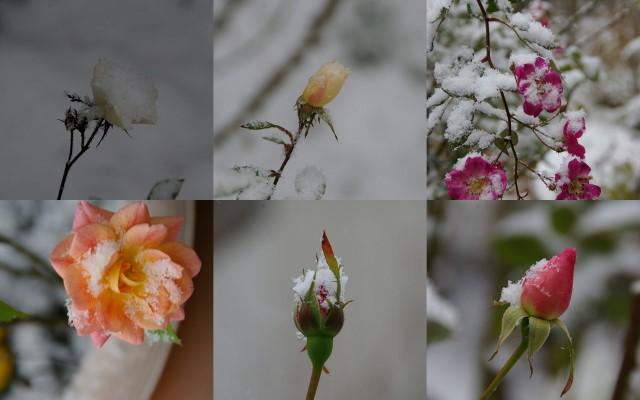 雪の朝のバラ