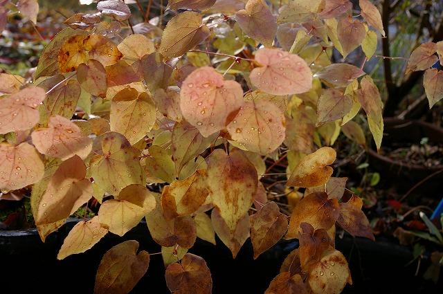 ツリフネソウの紅葉