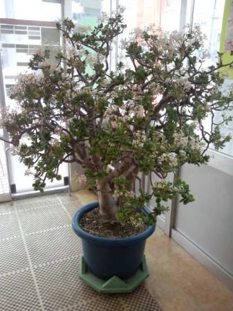 H23.2.2.瀬棚区郵便局の金のなる木の花