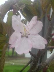 20100517蝦夷桜