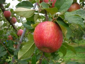 2010 10月りんご狩り 009