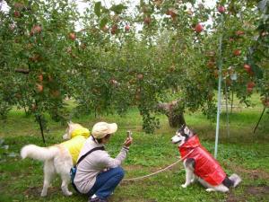 2010 10月りんご狩り 011