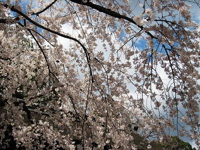 2009・平野神社の桜