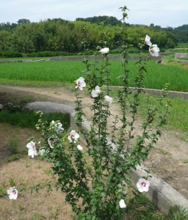 ピンクより、白い花が涼しげでお気に入り♪