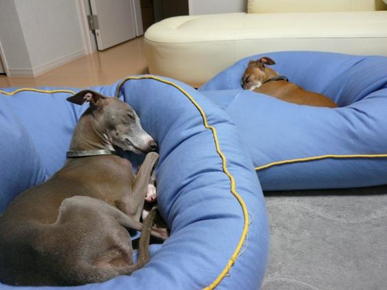飼い主♂がまだ帰ってないので、ディオっちも安心して熟睡中