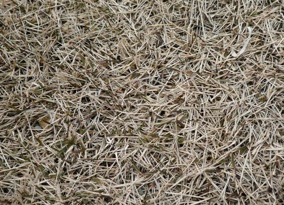 白っぽい枯れた芝生の下から・・・