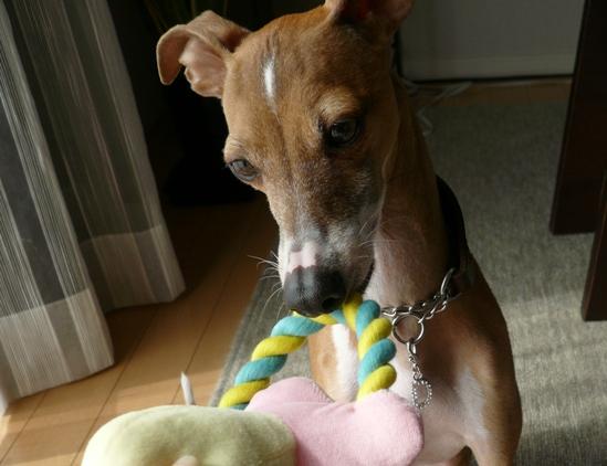 齧り系おもちゃ大好きなディオ