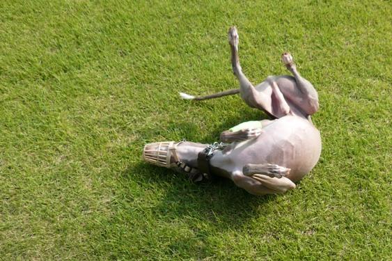 芝を見ると寝転がらずにはいられないトト