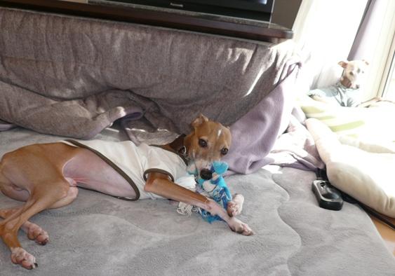 ディオはおもちゃで遊んでくれるけど、トトは全く興味なし