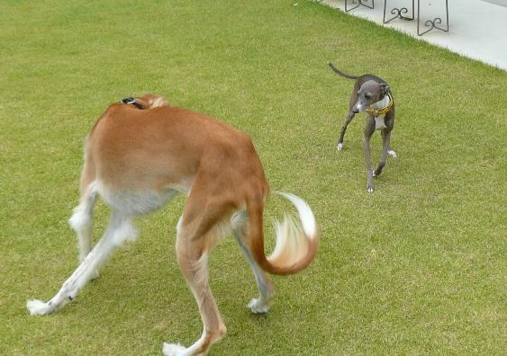 こうしてみると、イタグレってやっぱり小型犬だわ。