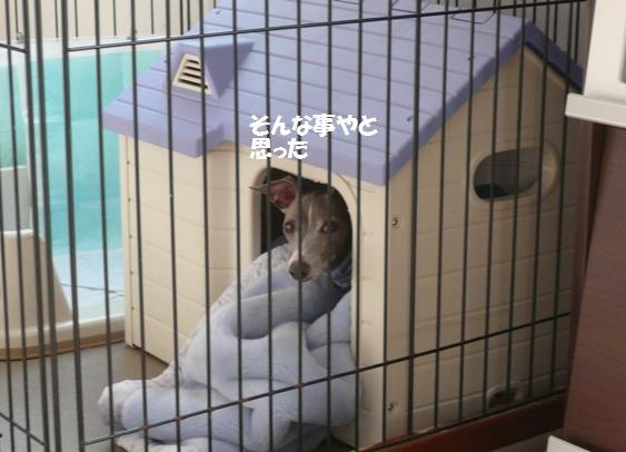 貰えなさそうな雰囲気を察知して、ハウスから出てこないトト