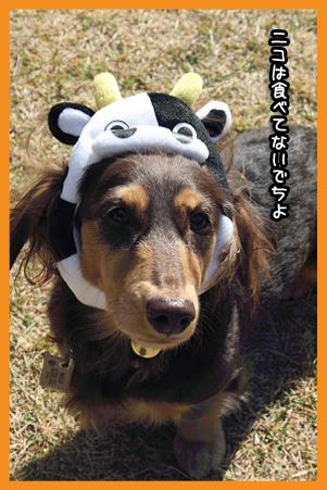 2008 12 07 年賀状写真牛 blog03のコピー