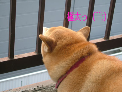 gokubuto.jpg