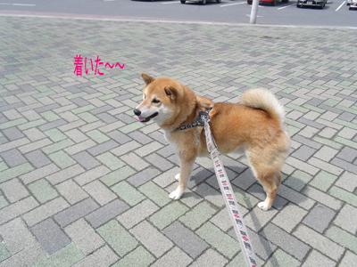 sakuraazu1004062.jpg