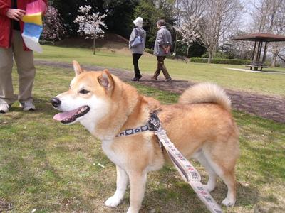 sakuraazu1004066.jpg