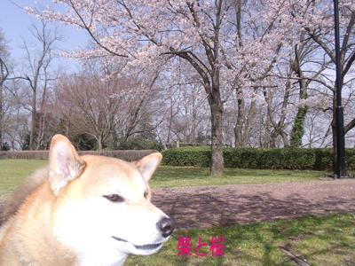 sakuraazu1004067.jpg