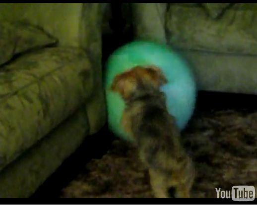 子犬ボール