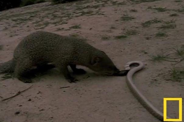 コブラ マングース