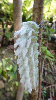 ヨナグニサン幼虫 (3)