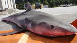 サメ 002