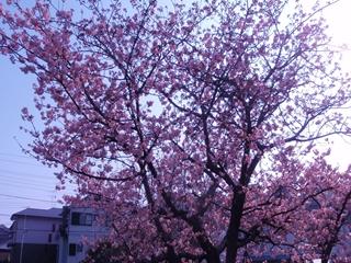 沼津 桜2_R