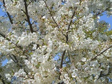 長居公園の桜2