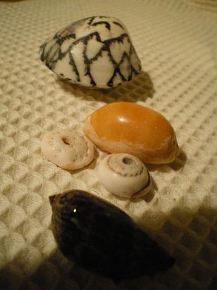 息子の貝殻