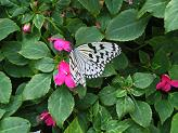 箕面昆虫館の蝶