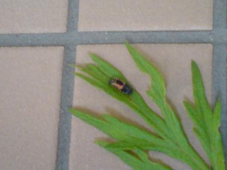 てんとう虫の幼虫アップ